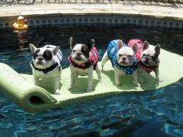 frenchie life vest selection advise hercules the french bulldog
